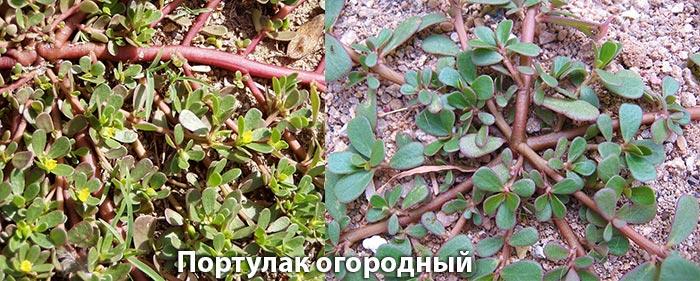 Портулак огородный (лекарственный или овощной)