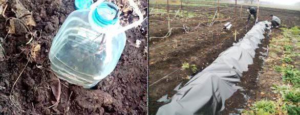 Молодой виноград укрытие пластиковой бутылкой или пленкой