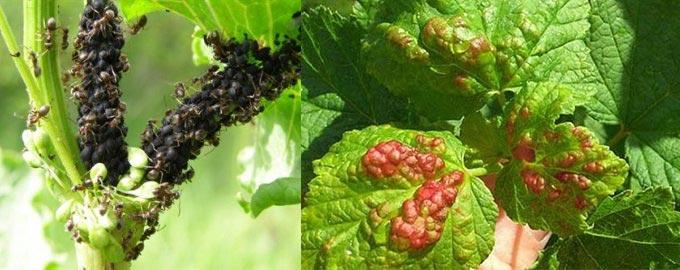 Тля и вредители смородины