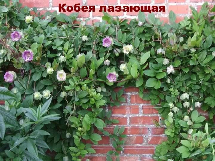Вид лианы - Кобея лазающая