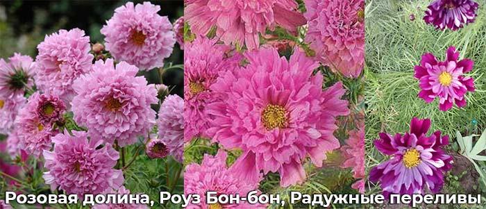 Розовая долина, Роуз Бон-бон, Радужные переливы
