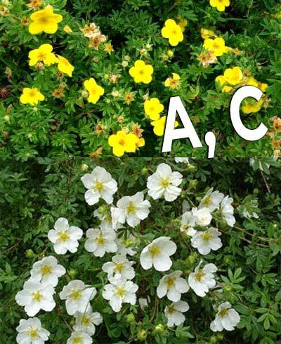 Витамины А, С в лапчатке кустарниковой