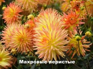 Вид хризантемы - Махровая перистая