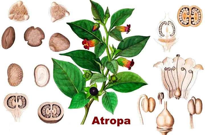 Вид растения - Мандрагора Atropa