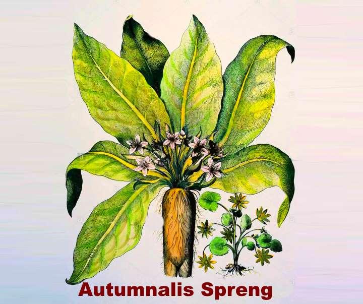 Вид растения - Мандрагора Аutumnalis Spreng