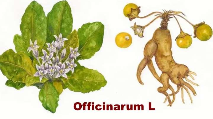 Вид растения - Мандрагора Оfficinarum L