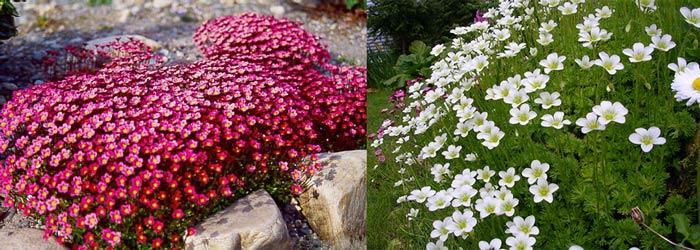 камнеломка розовая и белая