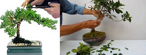 Обрезка для растений формирования бонсай