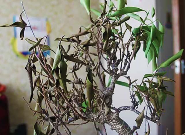Фикус сбрасывает листья