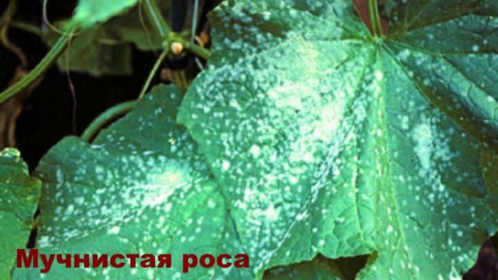 Болезни огурца - Мучнистая роса