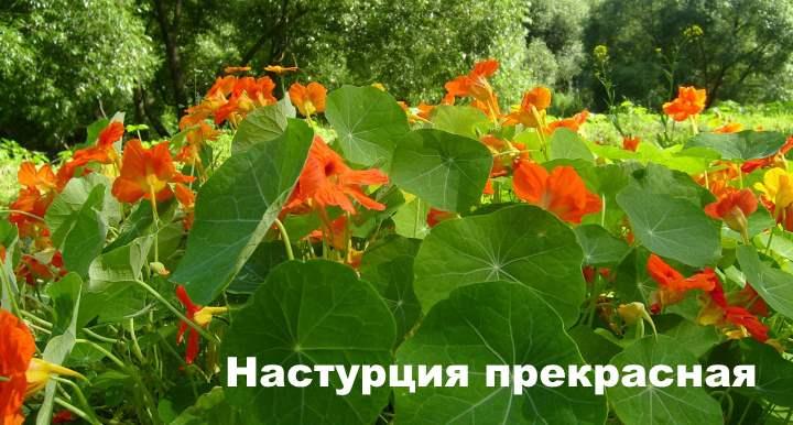 Вид лианы - Настурция прекрасная