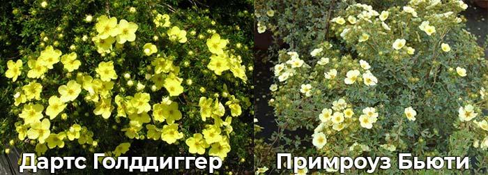 Дартс Голддиггер и Примроуз бьюти