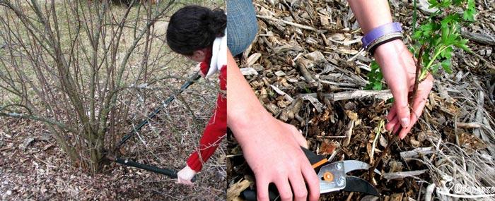 Подрезка стеблей смородины