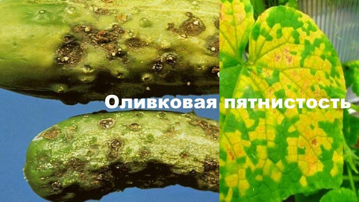 Болезни огурца - Оливковая пятнистость