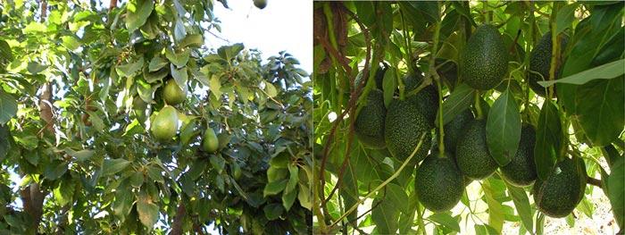 Деревья авокадо в природе