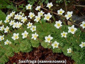 saxifraga (камнеломка)