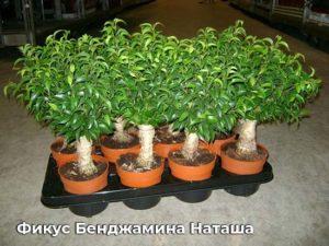 Фикус Бенджамина Наташа