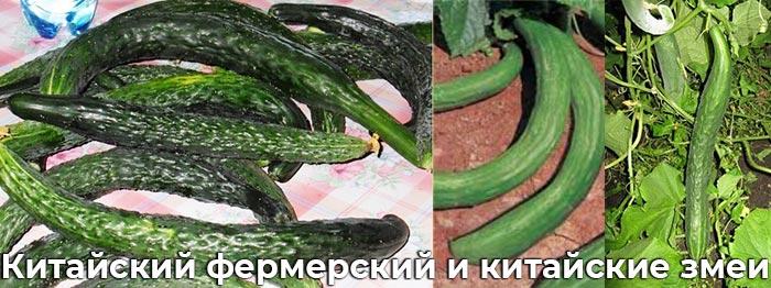 Китайские змеи и фермерский сорт огруца