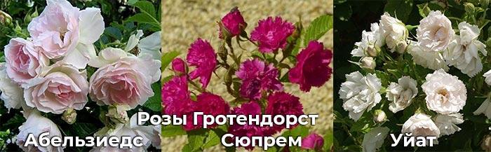 Розы: Гротендорст Сюпрем, Уайт и Абельзиедс