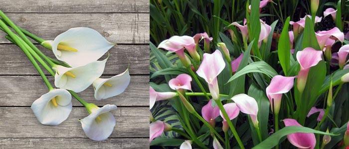 Белые и розовые каллы
