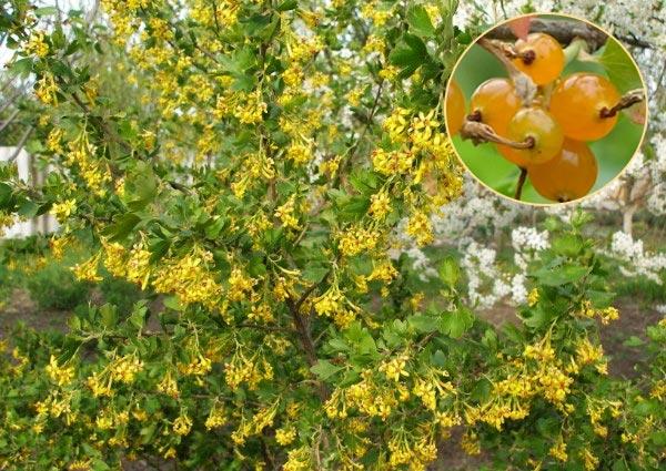 Цветущая смородина золотистая и ягоды