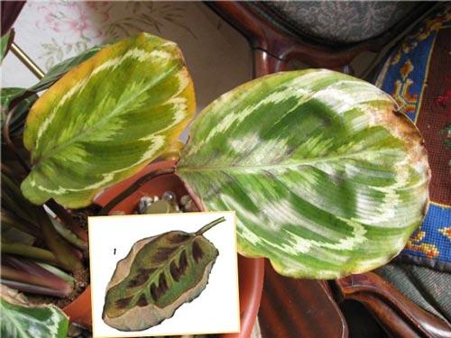 Пятна и пожелтения на листьях калатеи