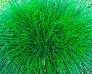 Растение овсяница