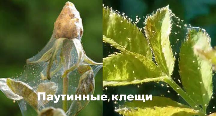 Вид проблемы - Паутинные клещи у роз