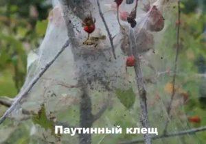 Вредитель хризантемы