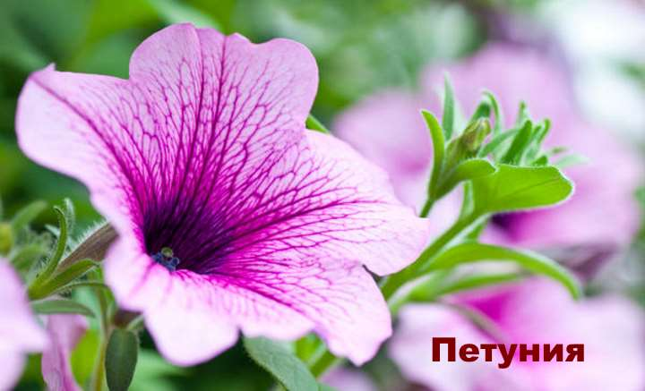 Экзотическое растение - Петуния