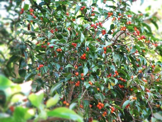 Фикус дерево с плодами
