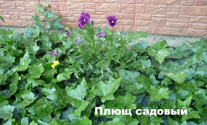 Вид лианы - Плющ садовый