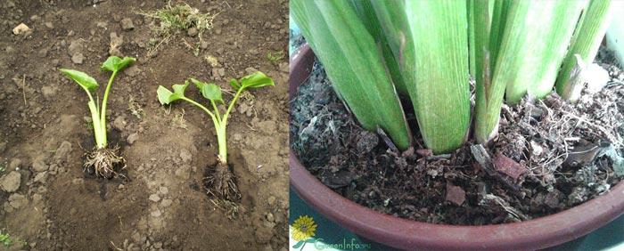 Состав почвы для каллы