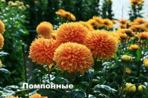 Вид хризантемы - Помпонная