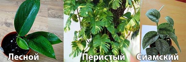 Сциндапсус: лесной, перистый и сиамский