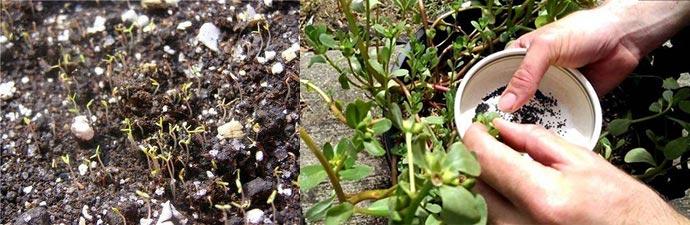 Сбор семян портулака на посев в открытый грунт