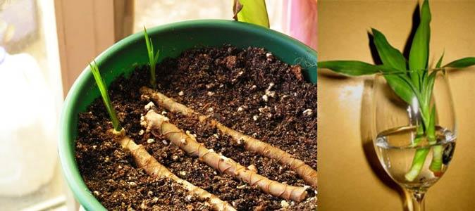Посадка и размножение черенками драцены сандеры