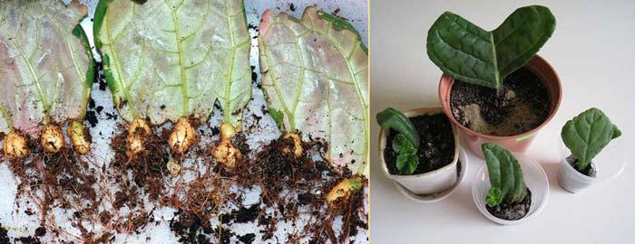 Фрагменты листа глоксинии после посадки дают клубни