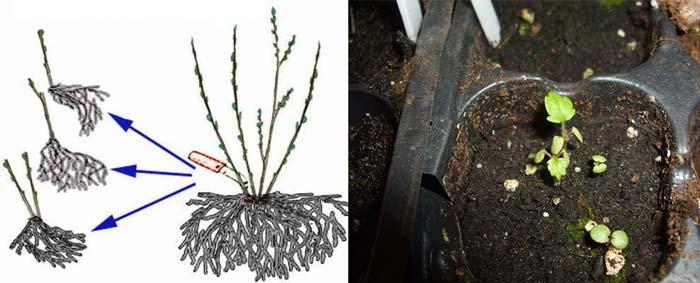 Размножение лапчатки семенами и делением куста