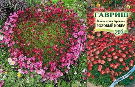 Семена камнеломки и цветущая камнеломка