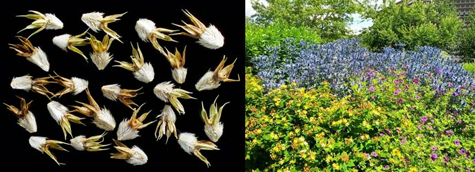 Семена и выращивание синеголовника