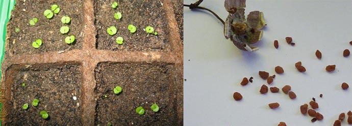 Семена и рассада цикламена
