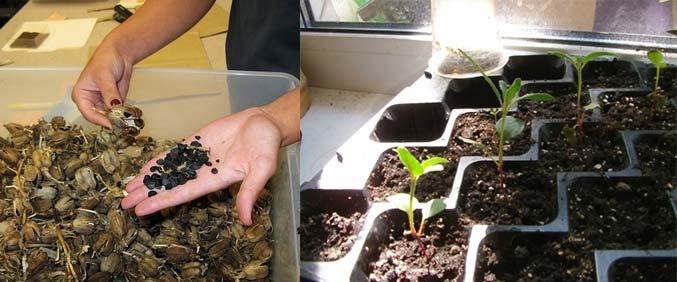 Семена юкки и семенная рассада