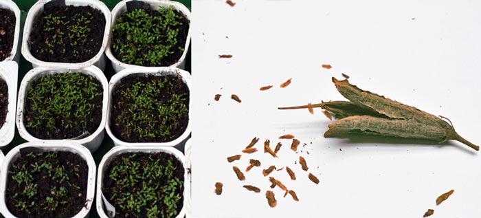Семена рододендрона и рассада