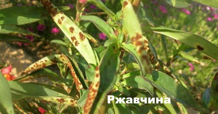 Болезни гвоздики - Ржавчина