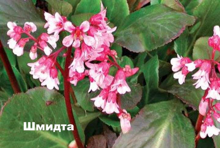 Вид растения - Шмидта бадан