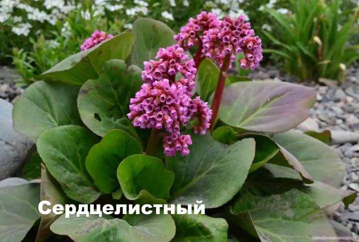 Вид растения - Сердцелистный бадан