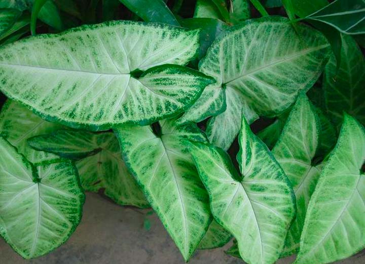 Цветок Сингониум ножколистный (уайт батерфляй)