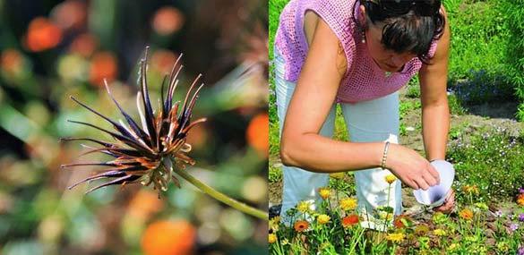 Сборы семян космеи