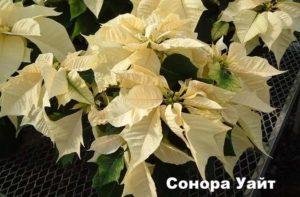 Сорт пуансеттии - Сонора Уайт